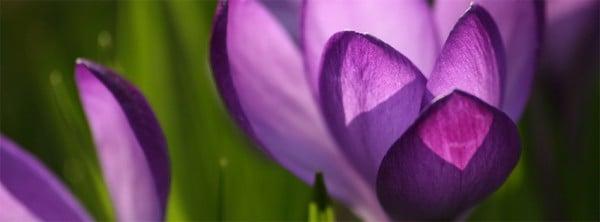 Çiğdem Çiçeği Facebook Kapağı