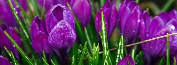 Çiğdem Çiçeği ve Yapraklar Facebook Kapakları
