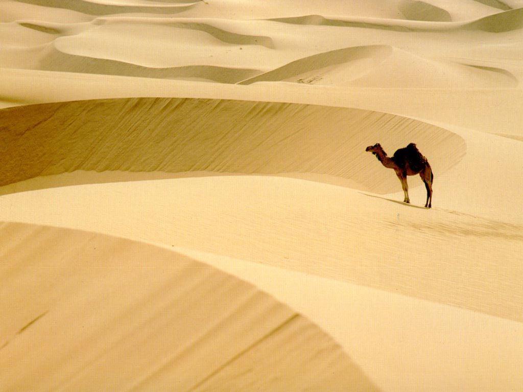 çöldeki deve