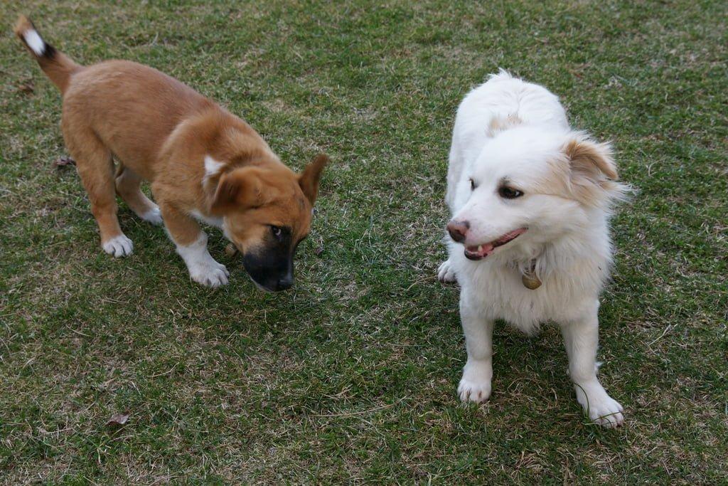 çamlıdere köpekler