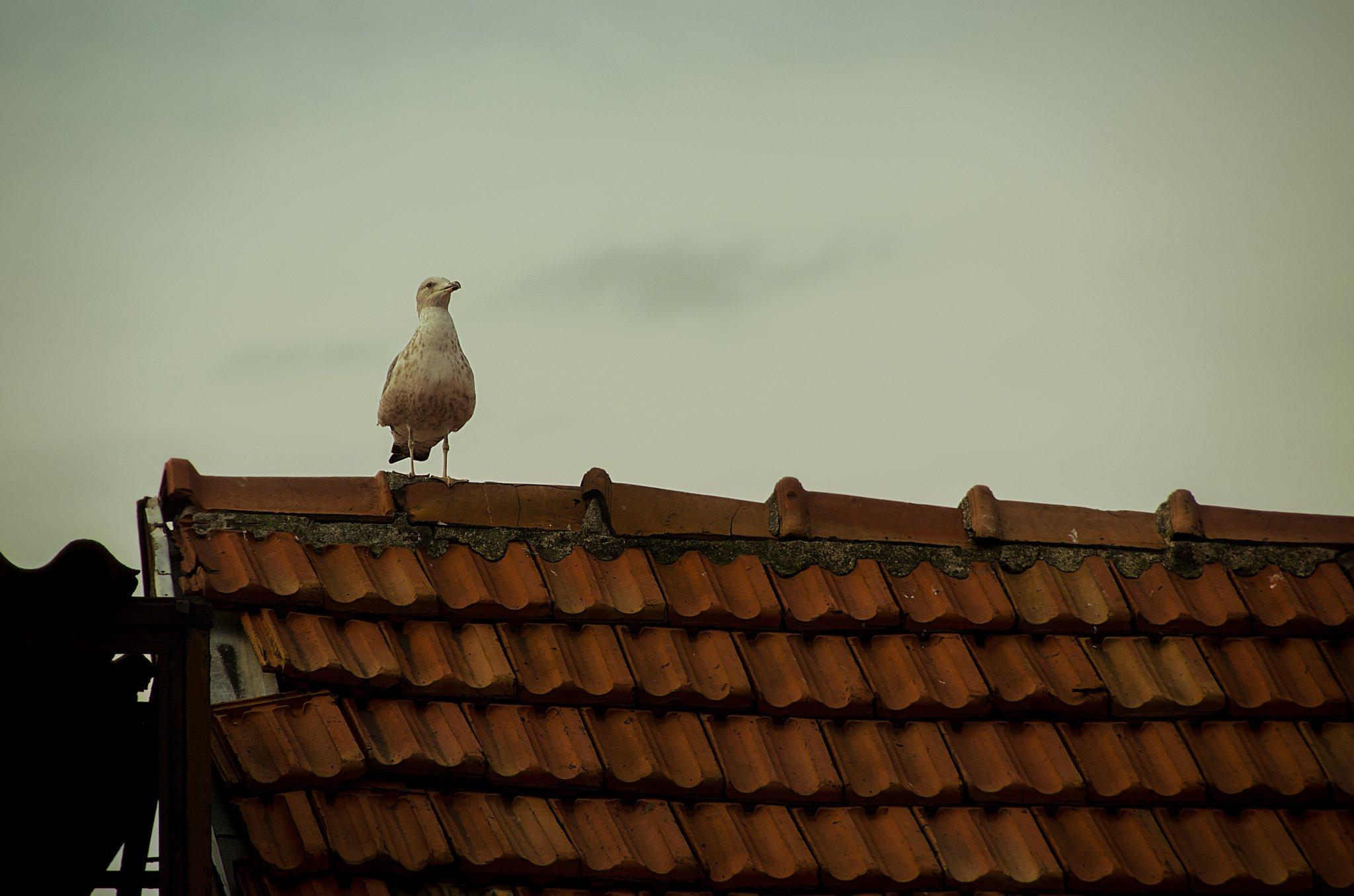çatıdaki martı