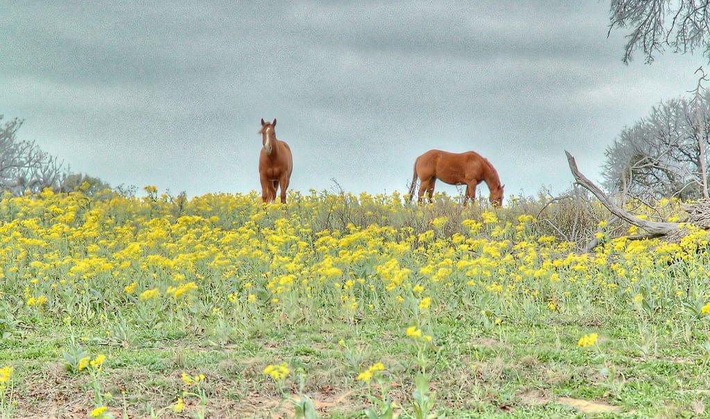 çayır ve atlar