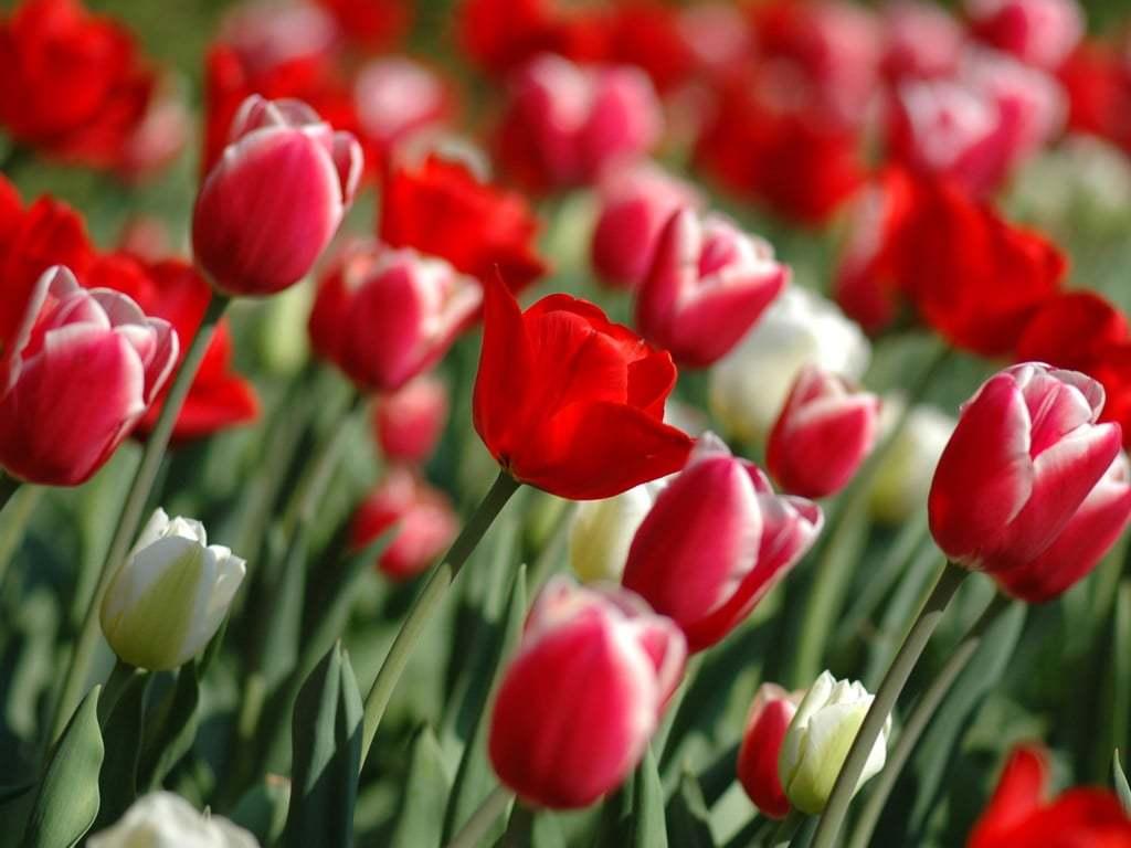 Çiçeklerden Lale