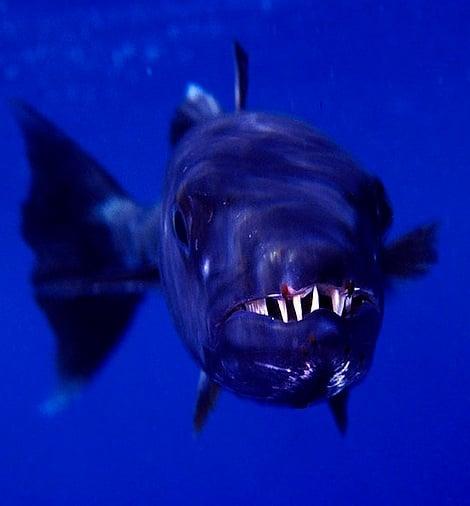 öfkeli balık
