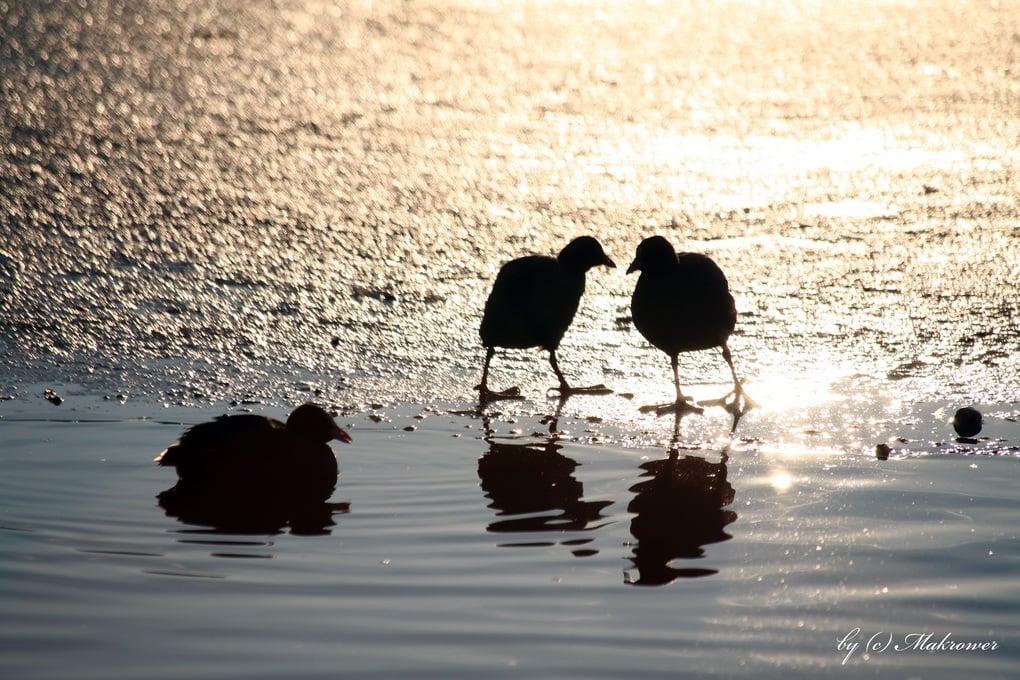 ördek resimleri – 2
