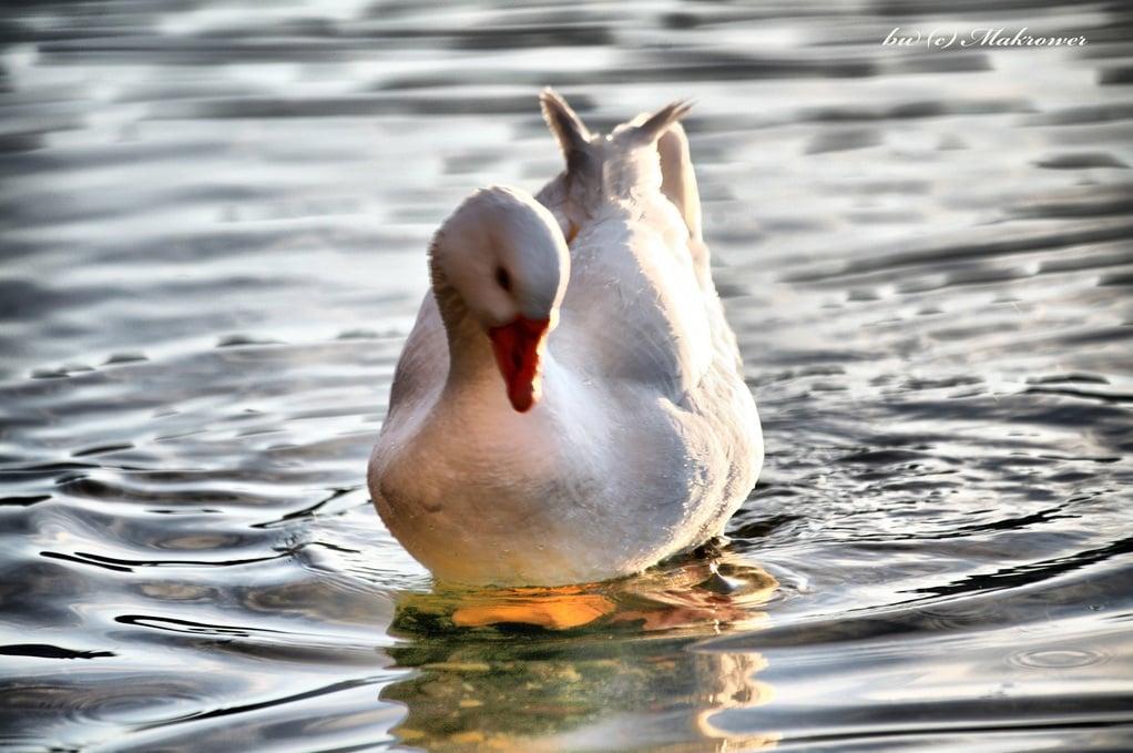 ördek resimleri – 3
