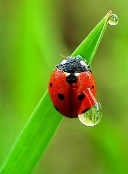 Şirin Uğur Böceği