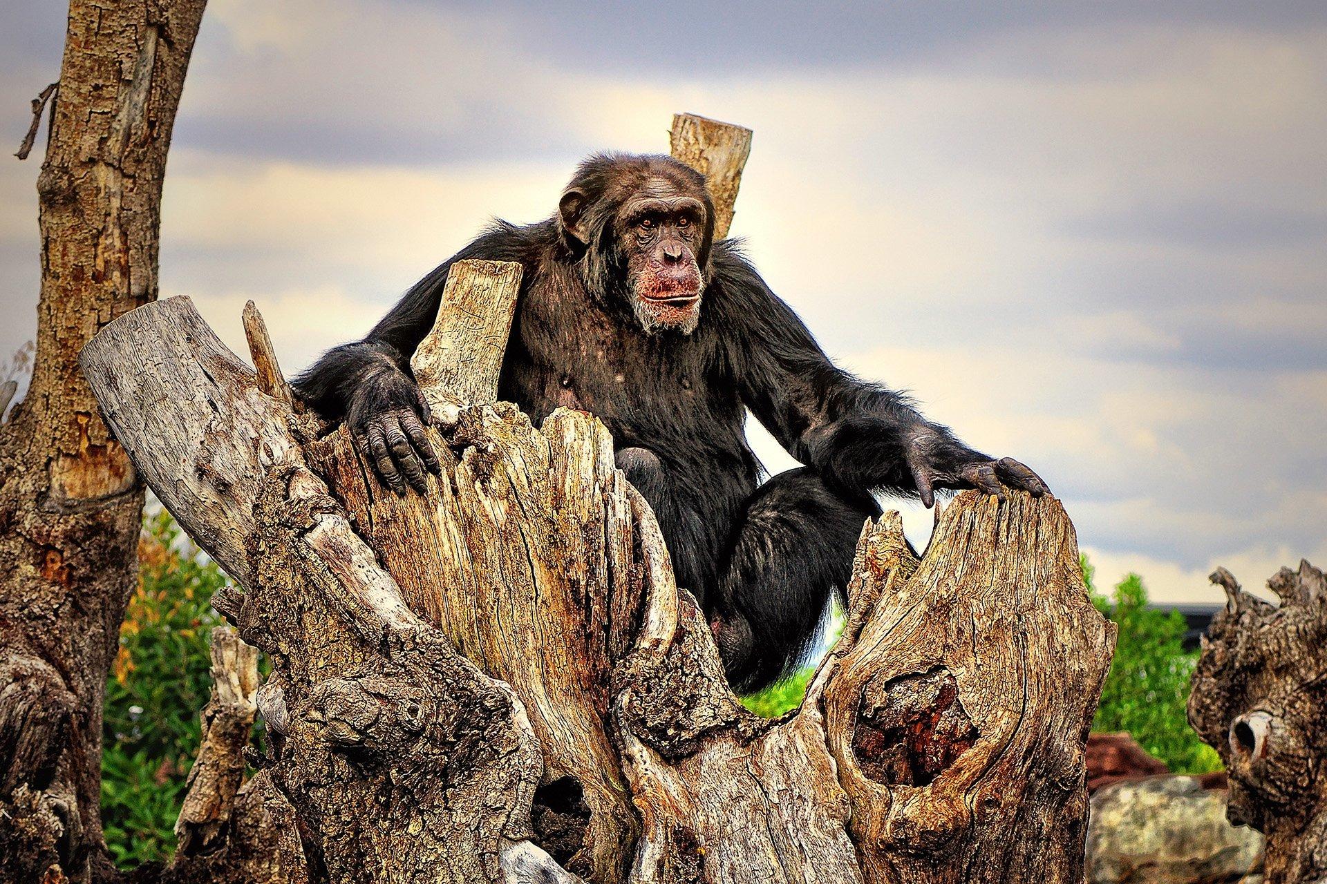 şempanze fotoğrafı