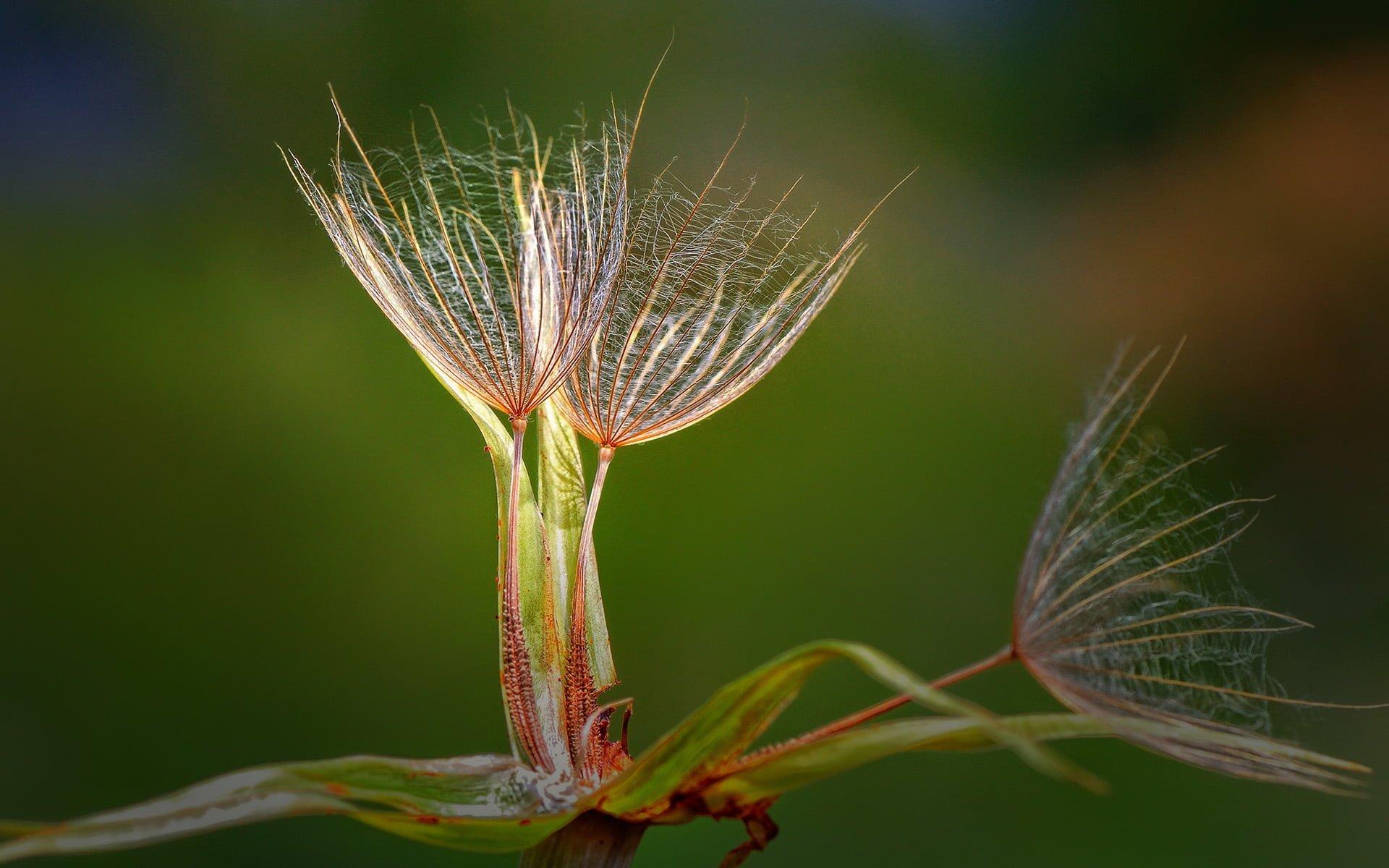 şemsiye çiçeği