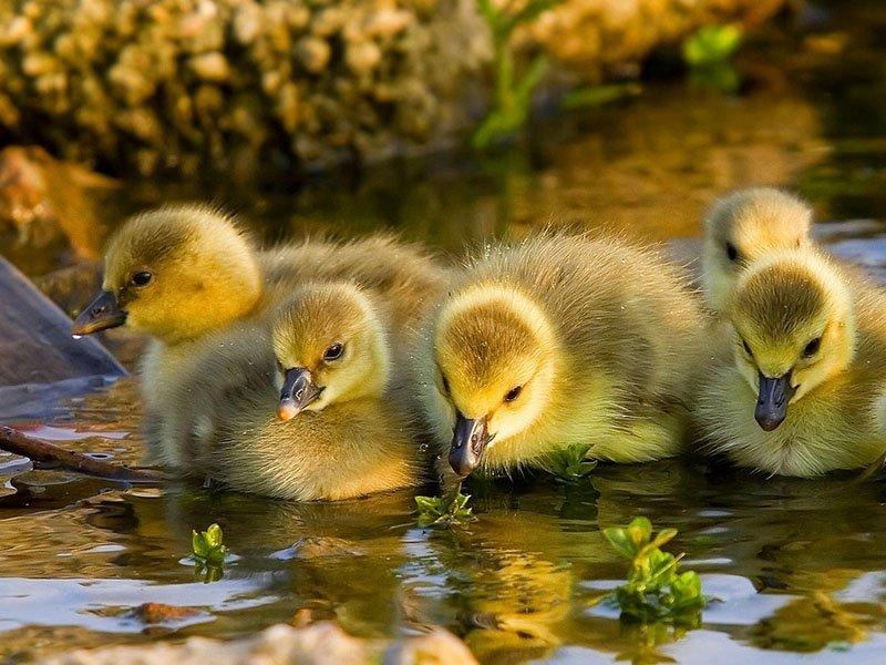 şirin sarı ve siyah ördekler