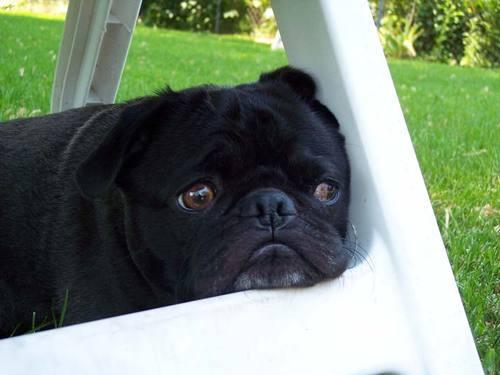 Şirin siyah köpek