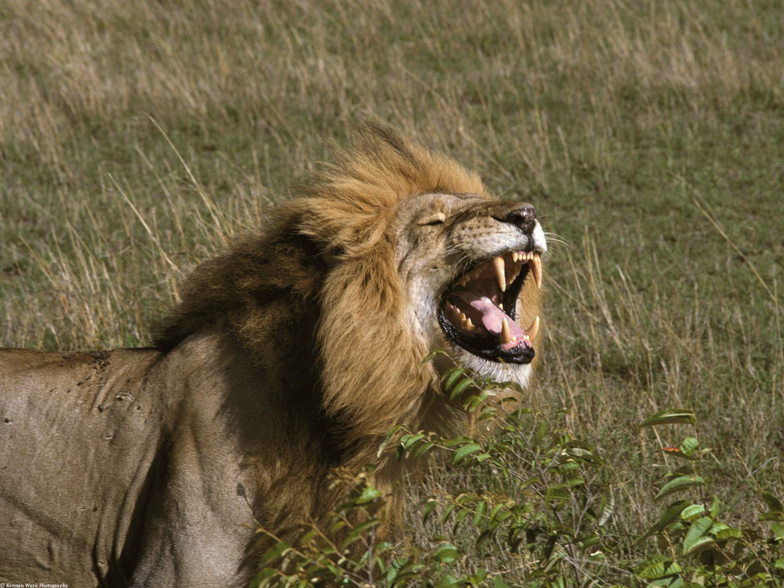 Aslan Fotoğrafları – 10
