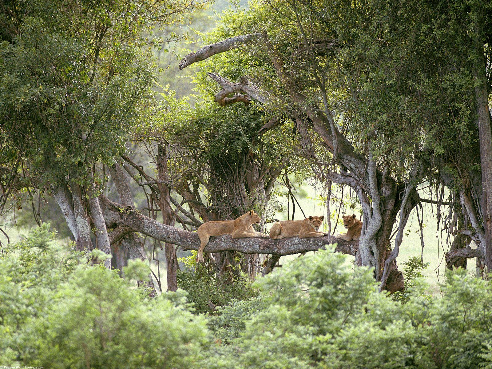 Aslan Fotoğrafları – 3