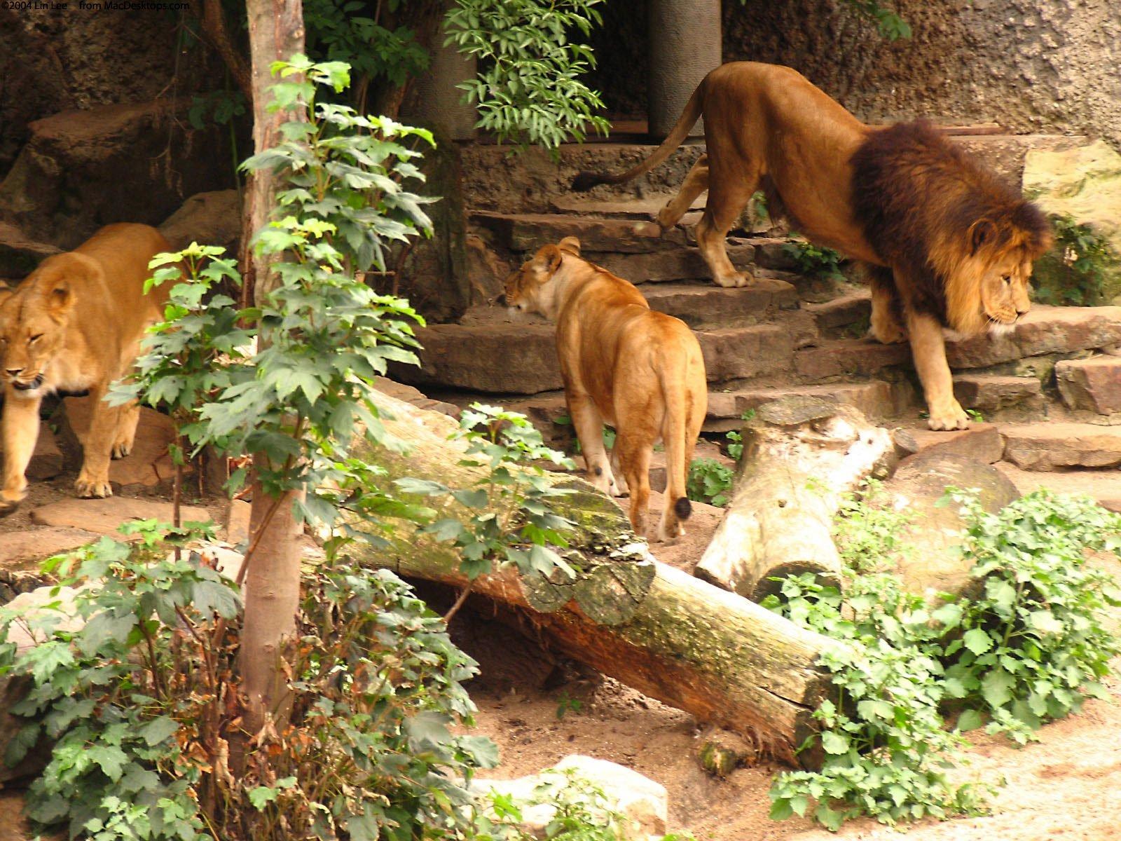 Aslan Fotoğrafları – 5