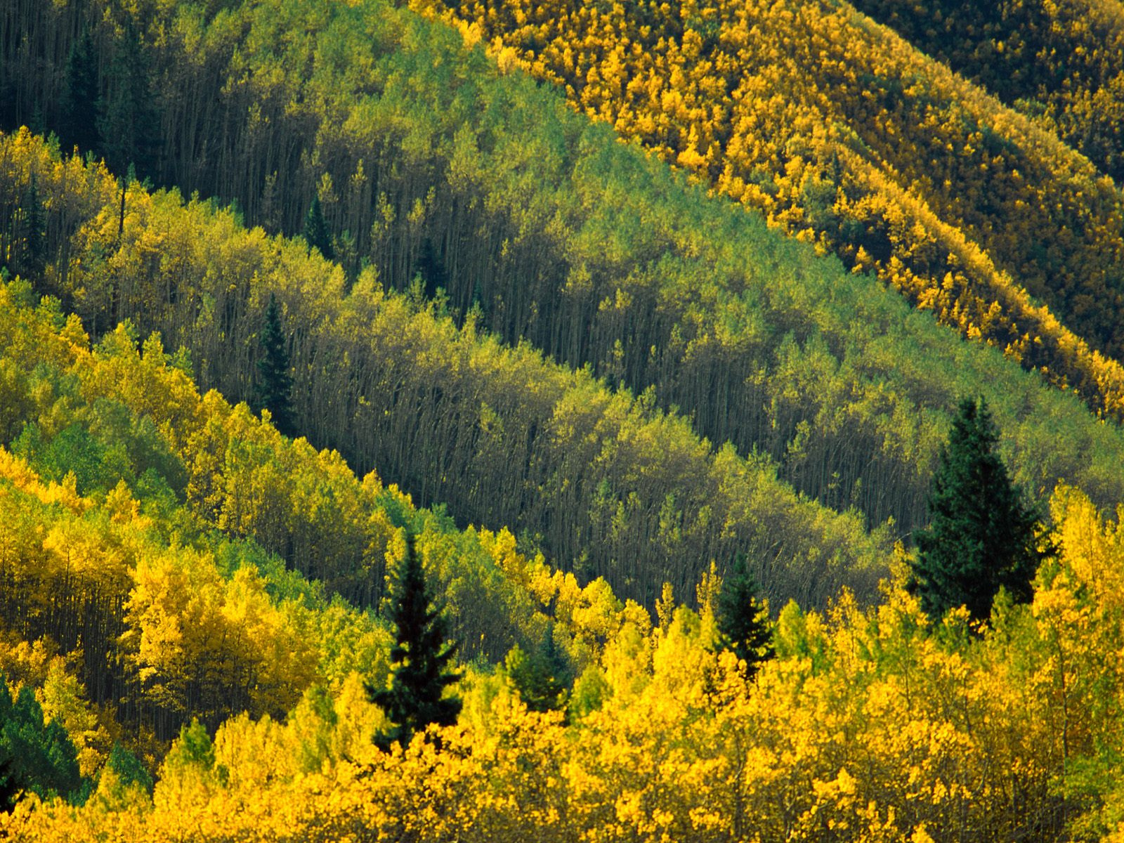 Aspen Ağaçları