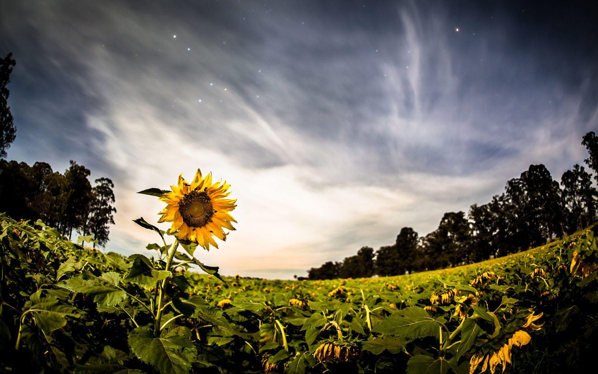 Ayçiçeği Yıldızlı Gece