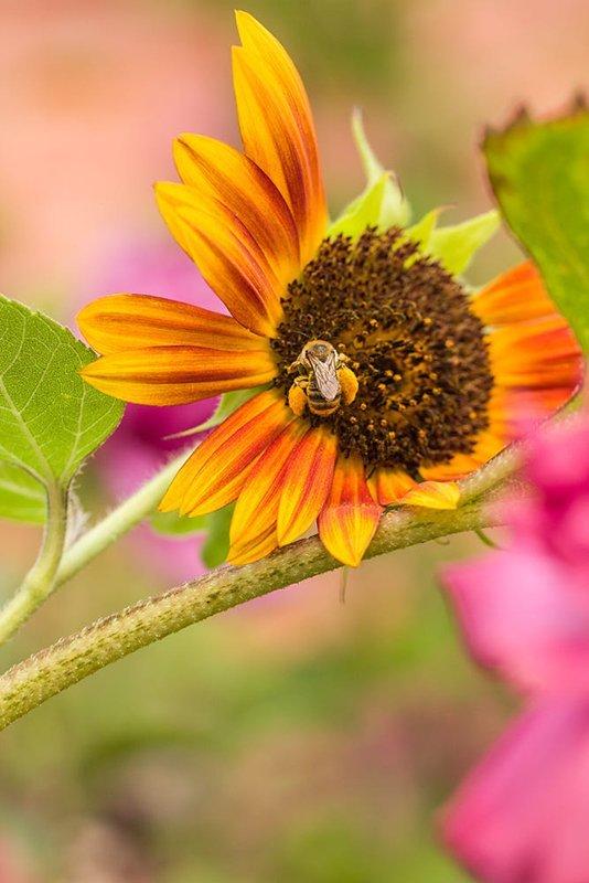 Ayçiçeği ve Arı