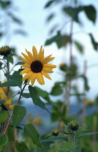 Ay Çiçeği Resmi