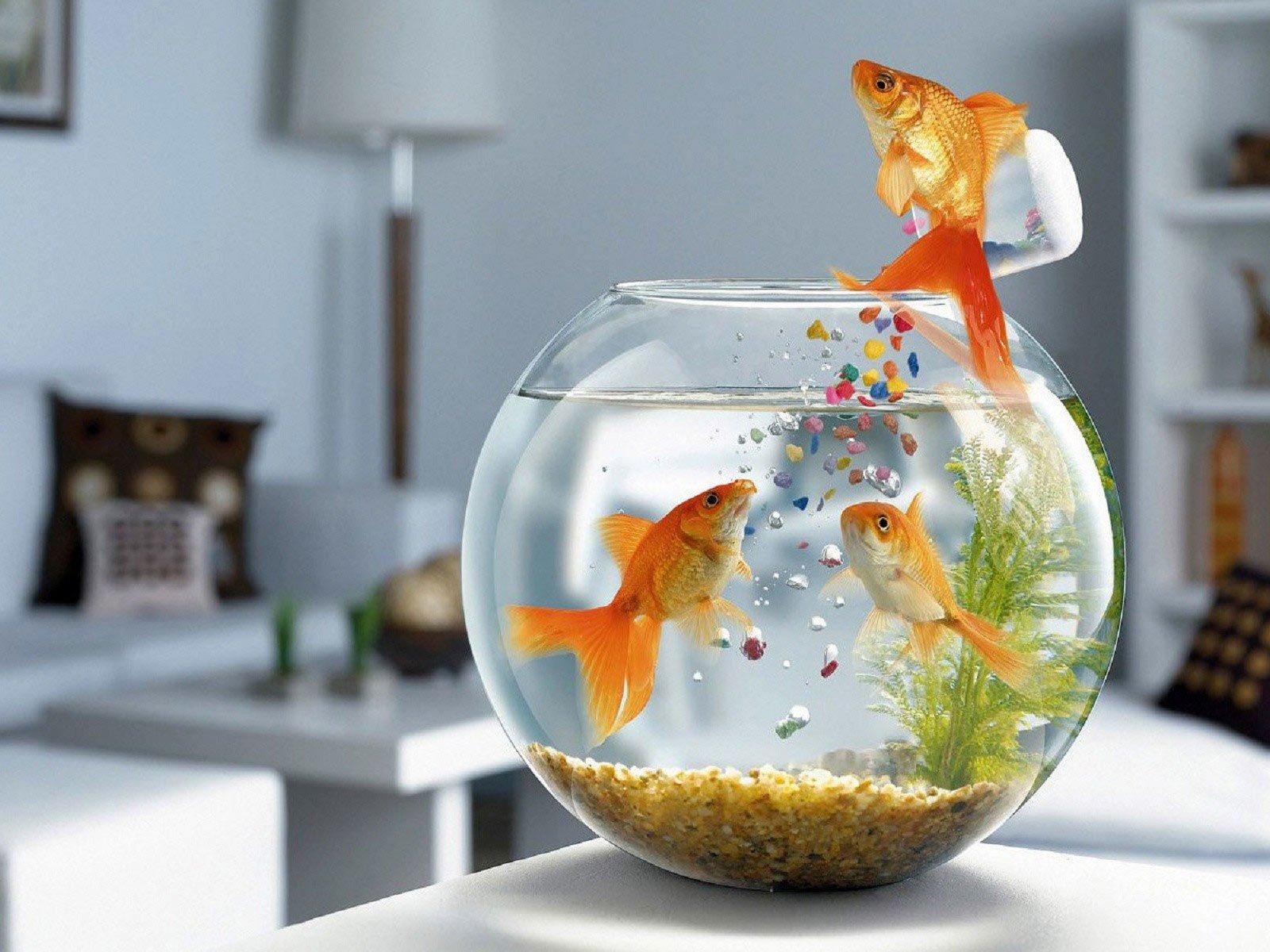 Akvaryuma yem döken balık