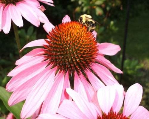 Arı çiçekte