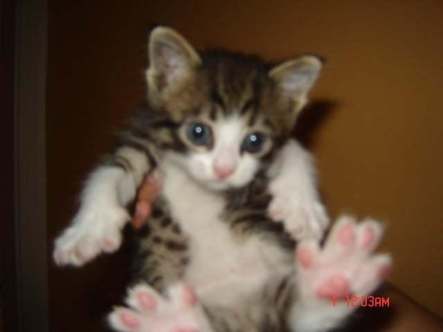 Tüy Yumağı Kedi