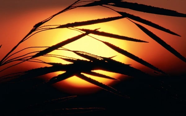 Buğdaylı gün batımı