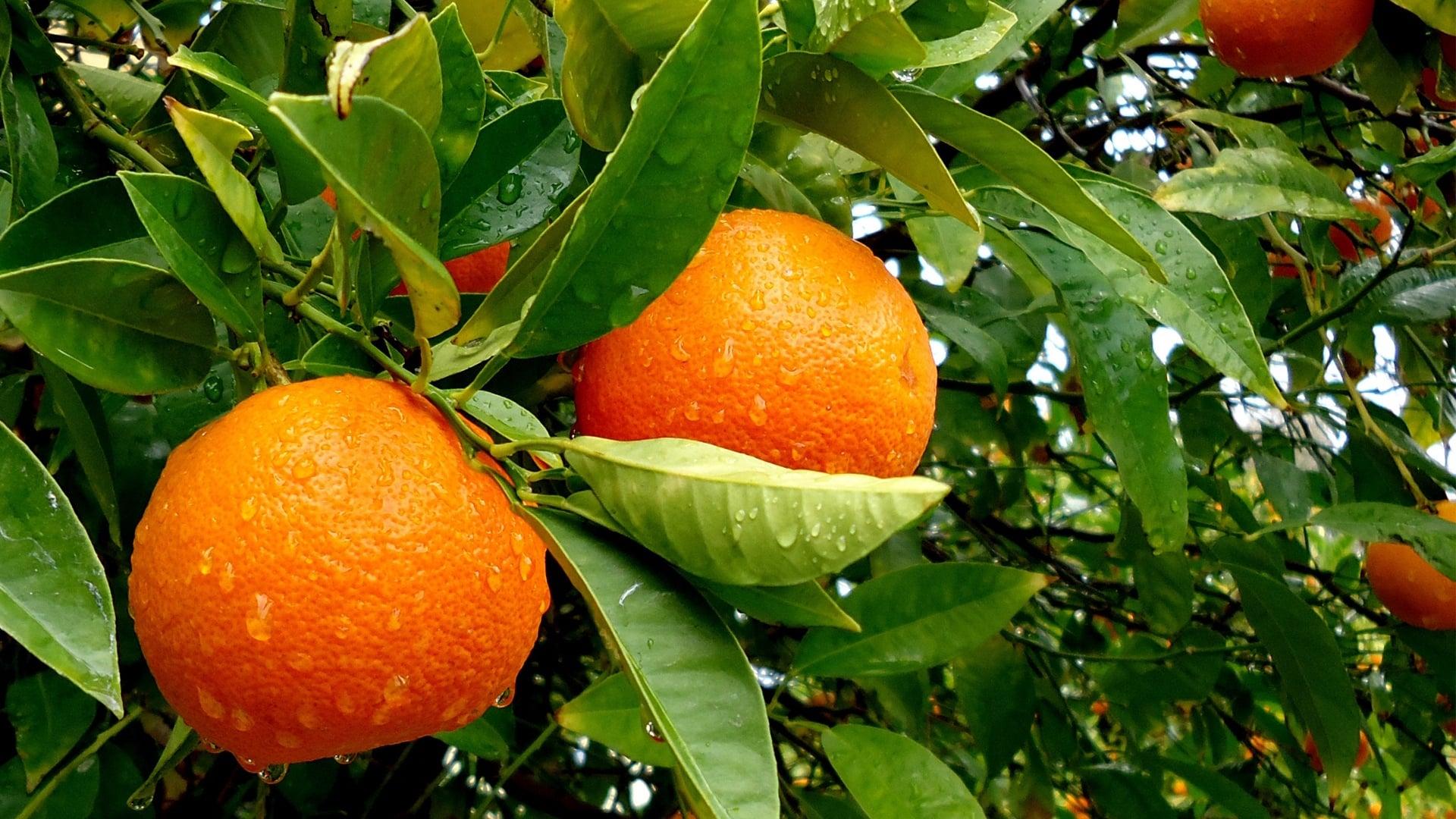 Dalında Portakallar