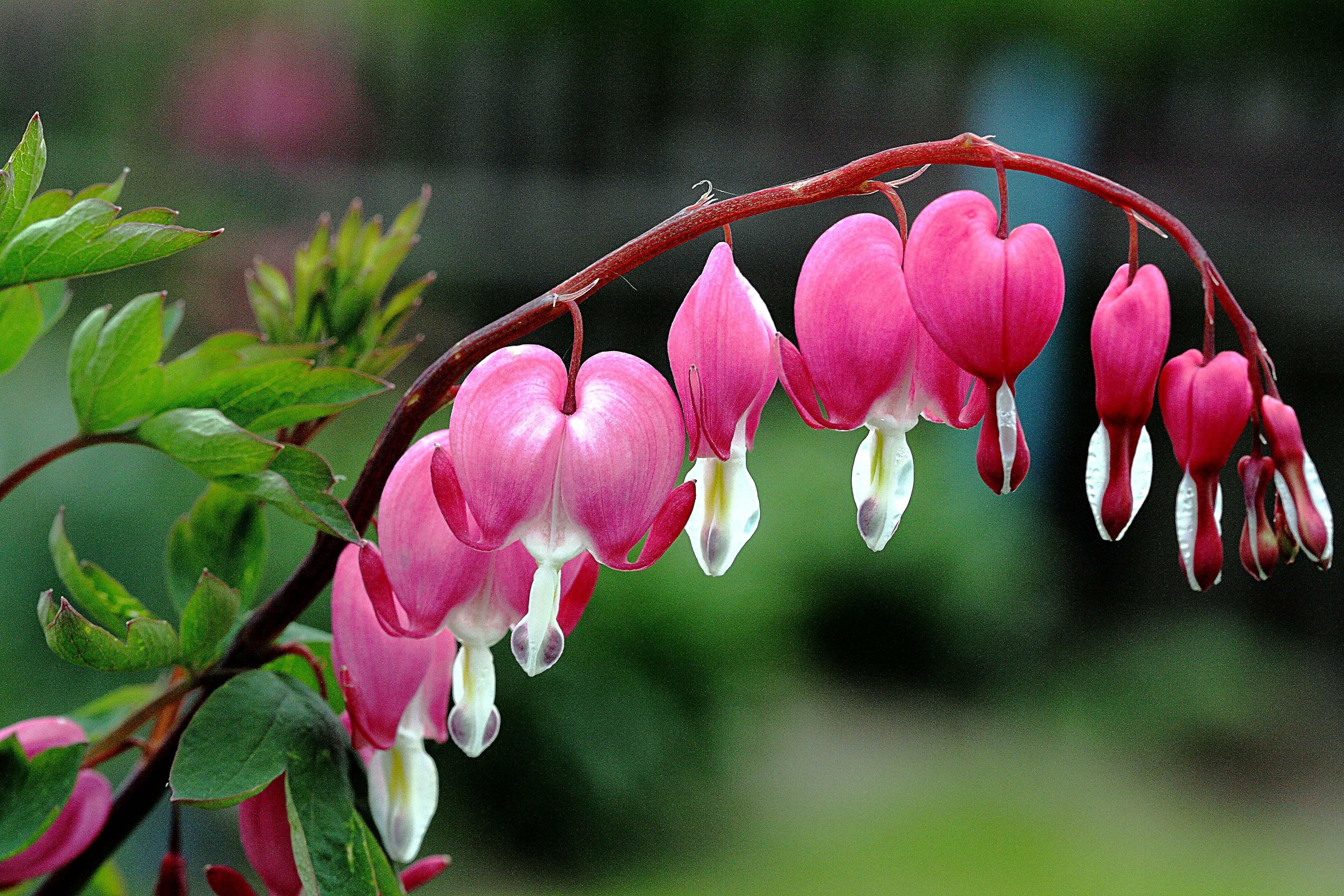 Kanayan kalpler çiçeği-1