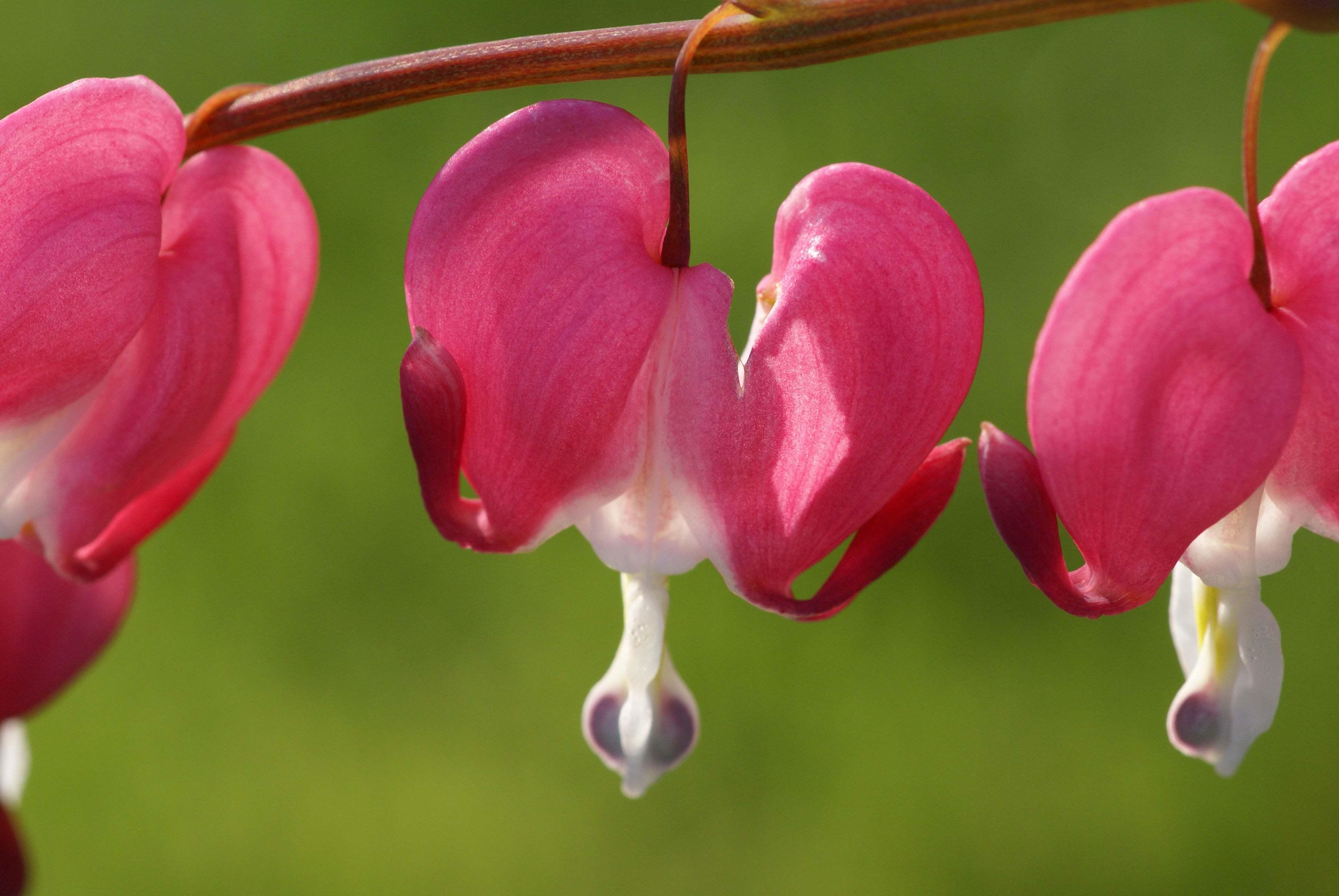 Kanayan kalpler çiçeği-3
