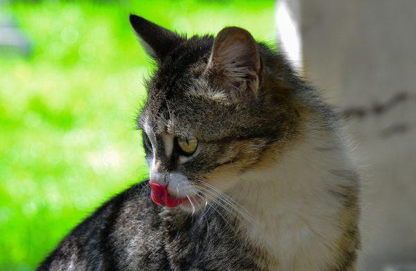 Dil Çıkarmış Kedi