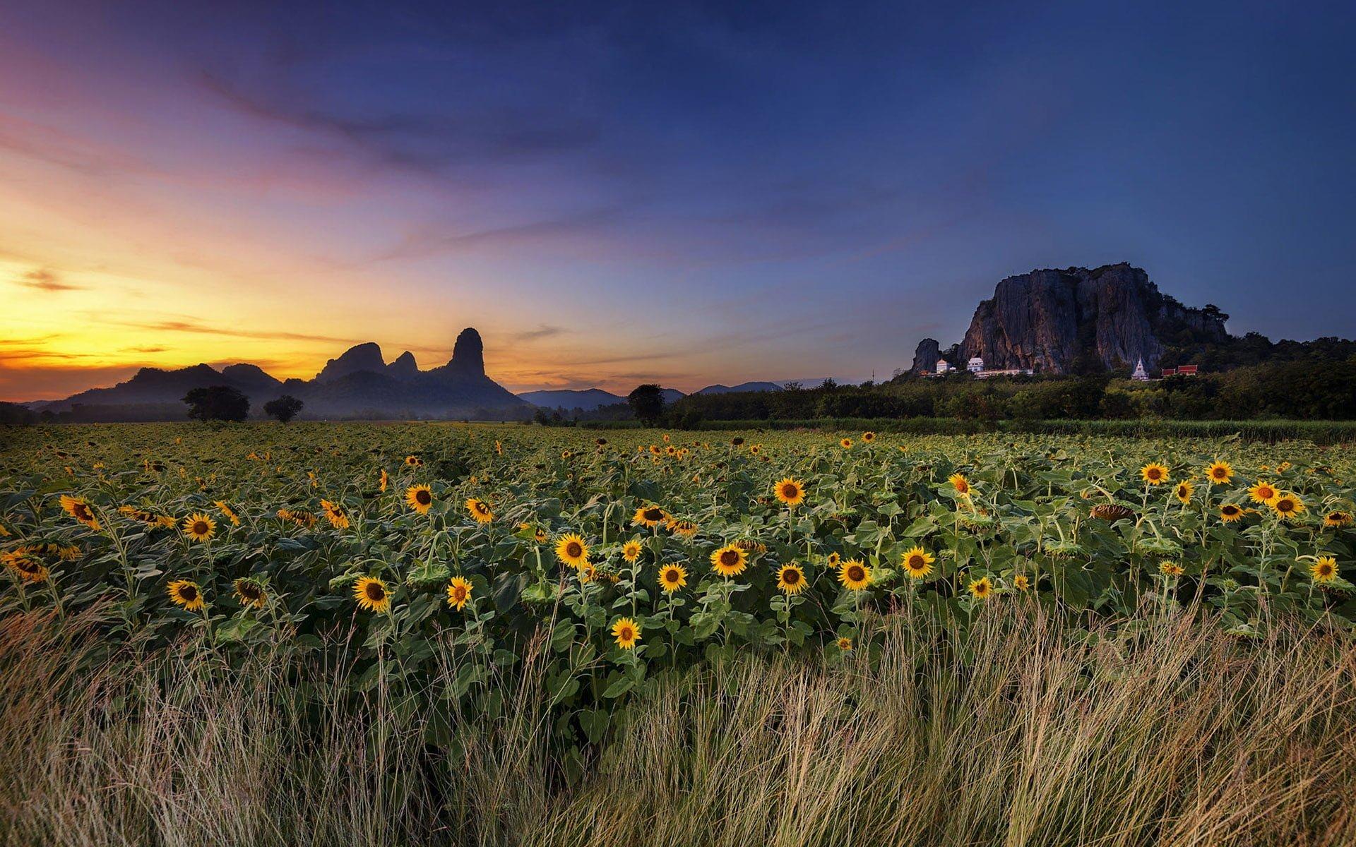 Gün Batımlı Ayçiçeği Manzarası