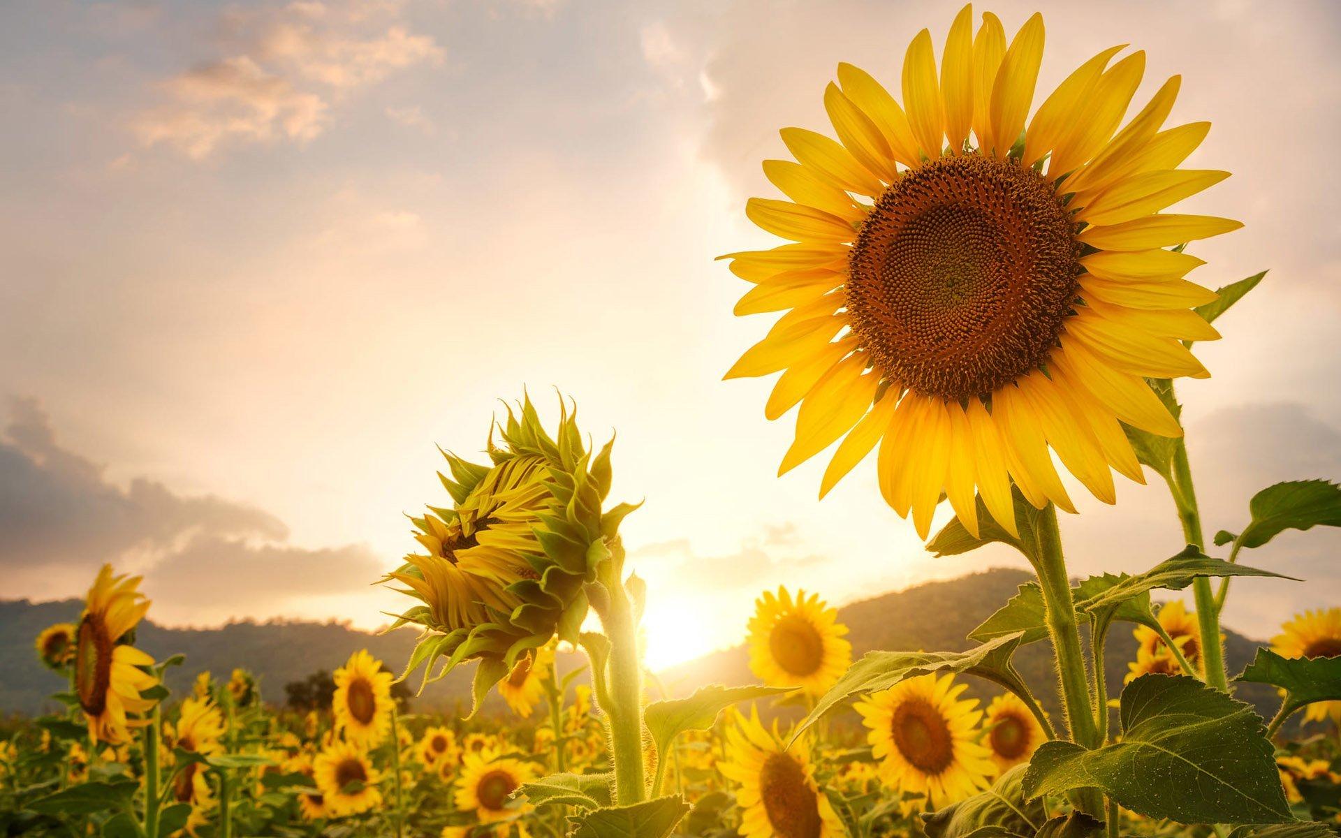 Güneşli Günde Ayçiçekleri