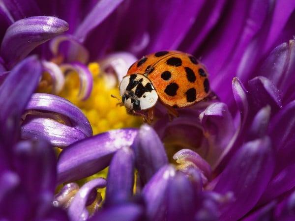 Güzel Uğur Böceği Resmi