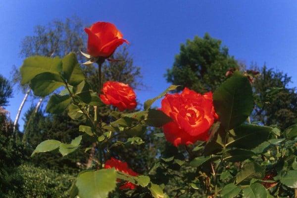 Gonca - kırmızı güller