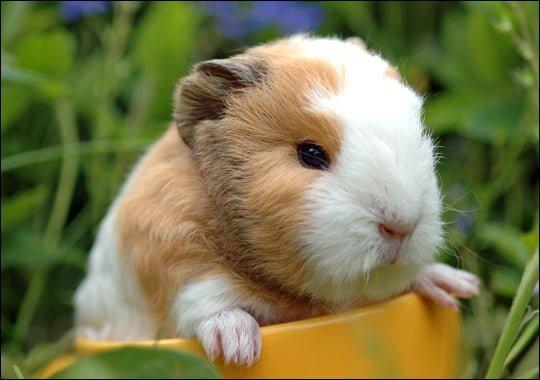Guinea pig fotoğrafı