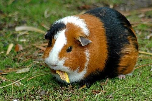 Guinea pig görüntüsü