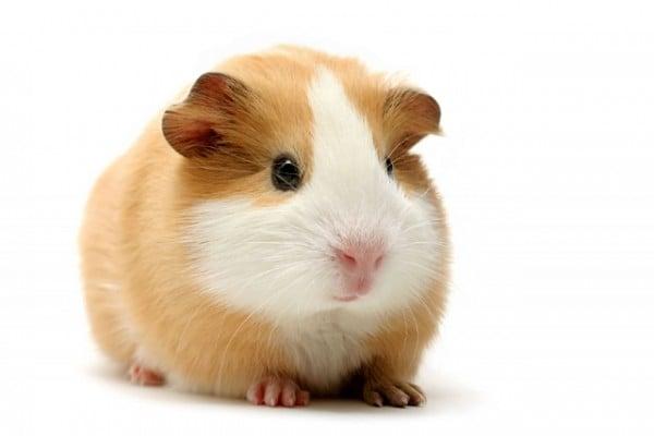Guinea pig resmi