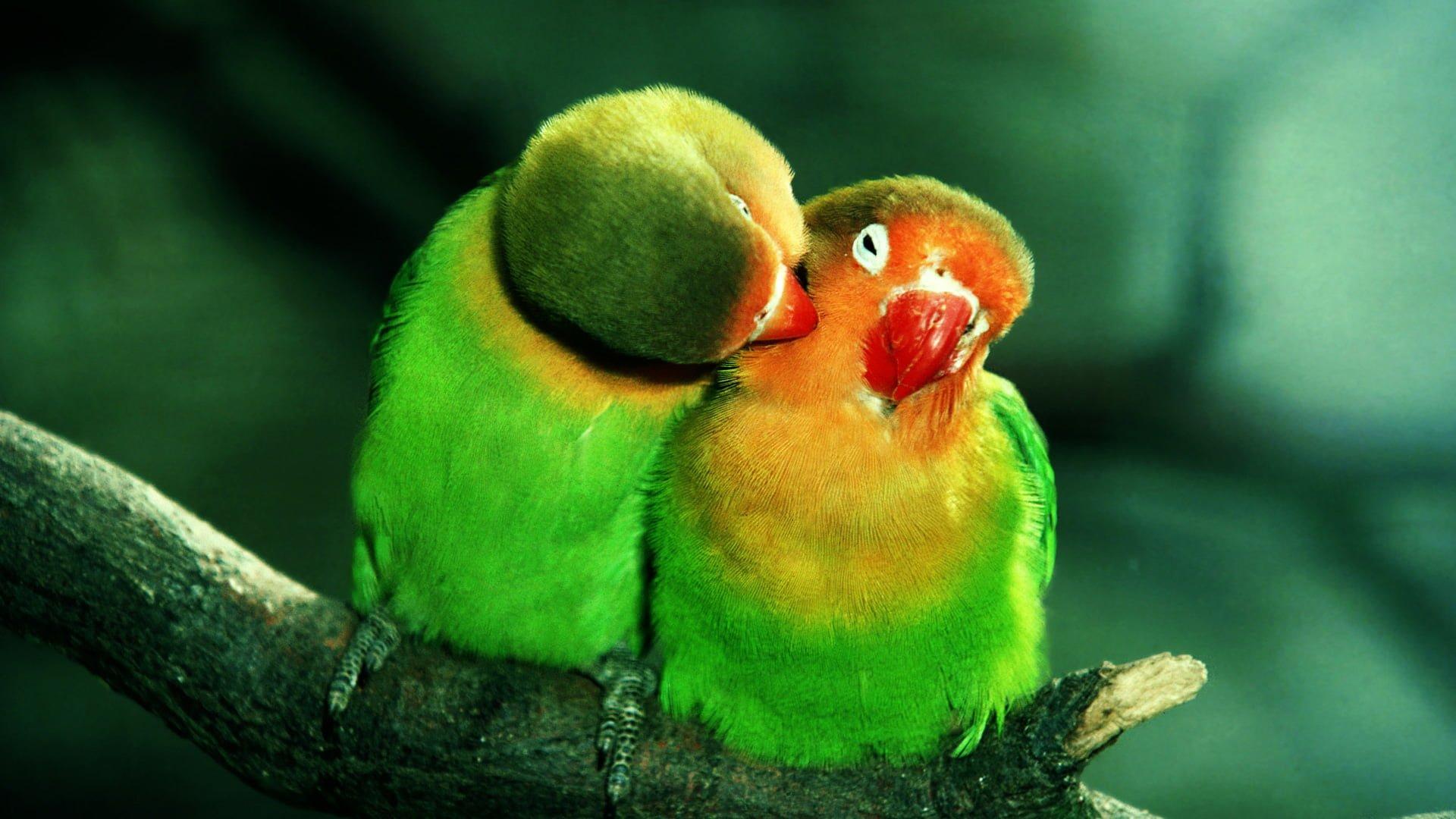 HD Papağan Resimleri