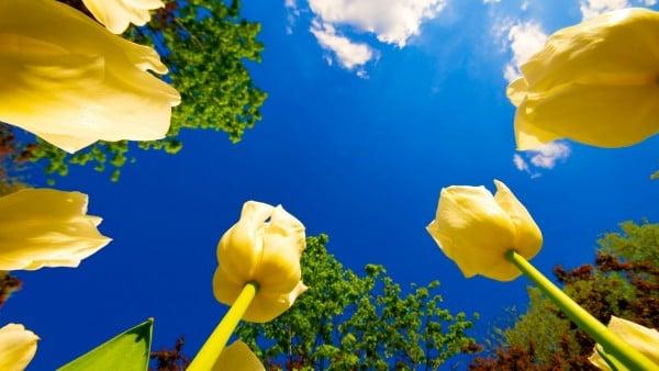 HD Sarı Lale Fotoğrafları