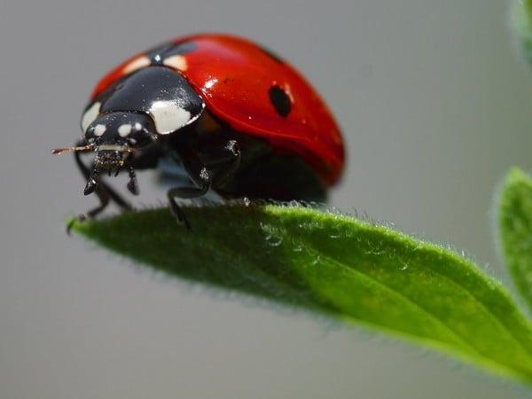 Harika Uğur Böceği Resmi