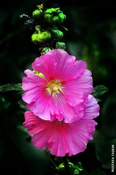Hatmi Çiçeği Resmi