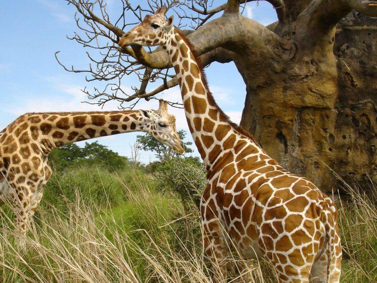 İki Zürafa