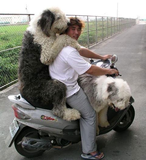 Köpek ve motorcu