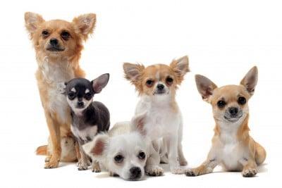 Minicik köpekler
