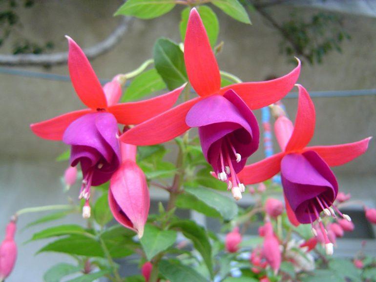 küpeli çiçek