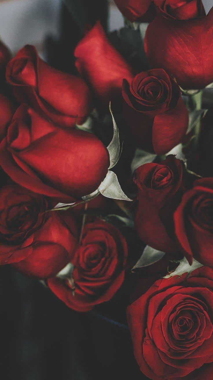 Kırmızı Gül Çiçeği - Kırmızı Gülün En Güzel Halleri