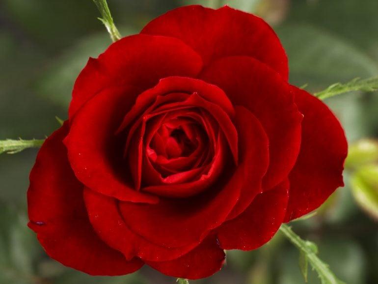 Gonca – kırmızı güller