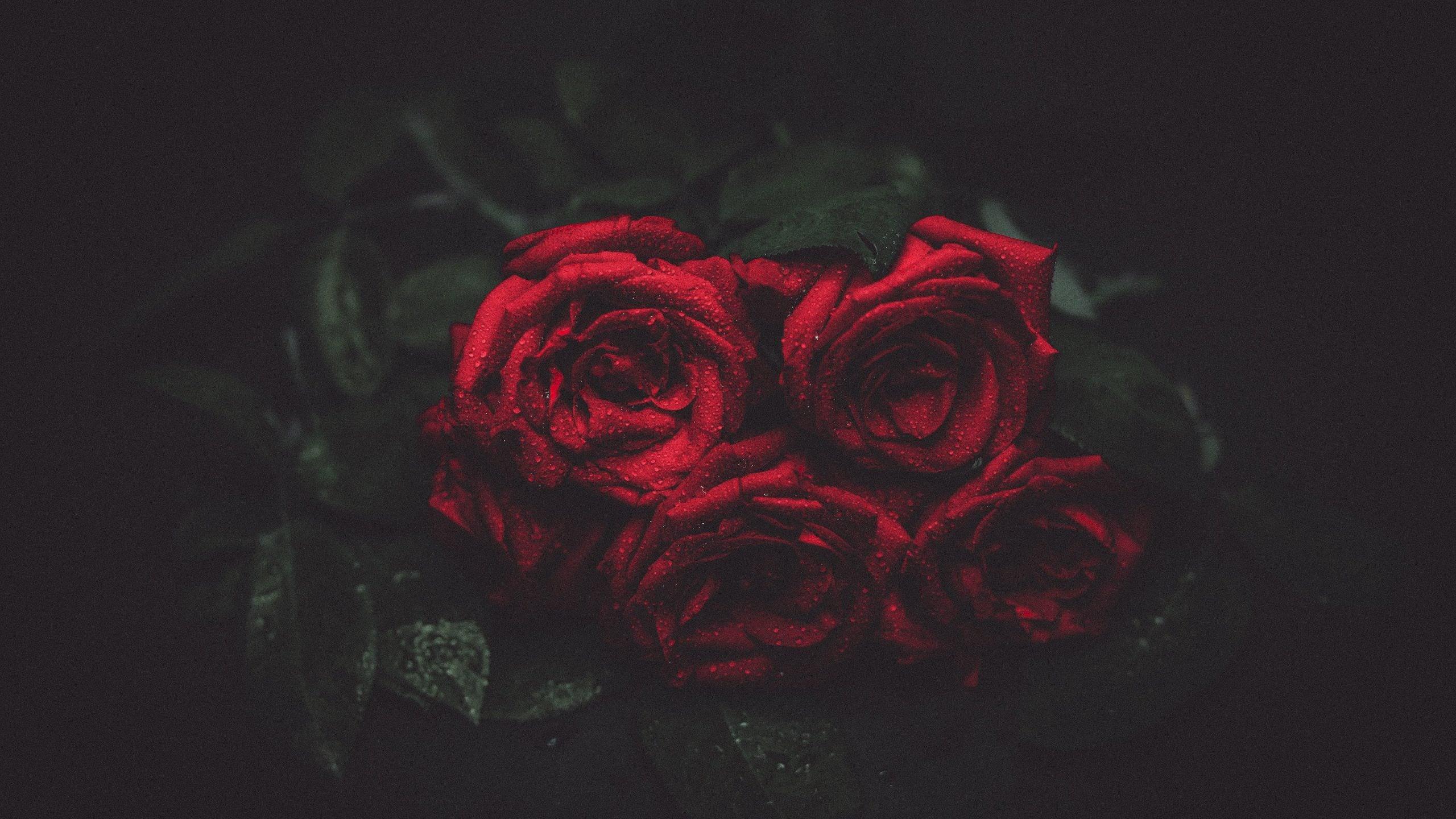 Kırmızı Gülün En Güzel Halleri - Kırmızı Gül Görüntüsü