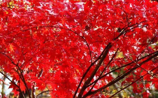 Kızıl Ağaç