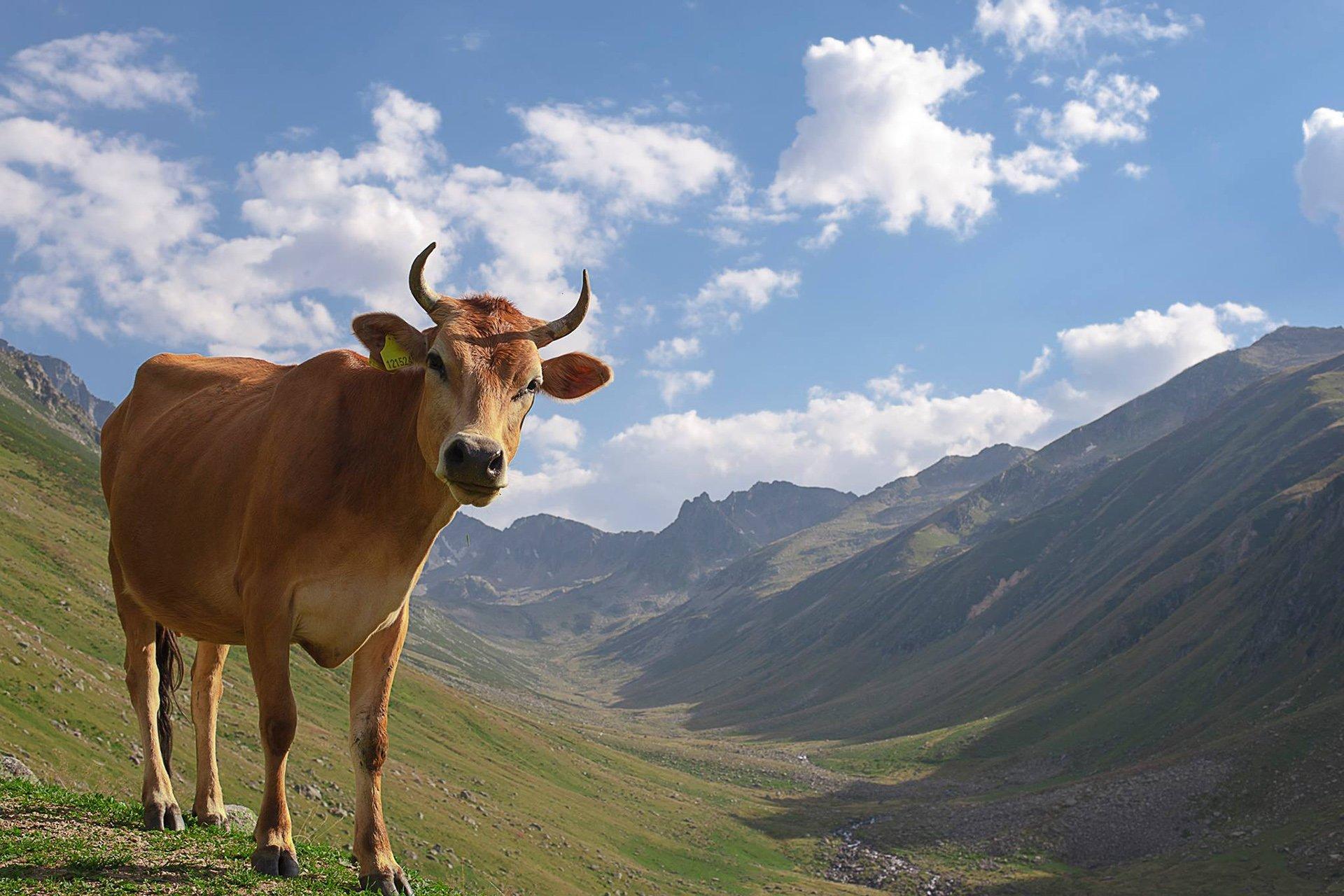 Kaçkar yaylası inek